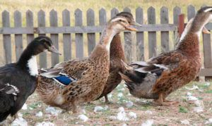 Башкирские утки практически не садятся на гнездо
