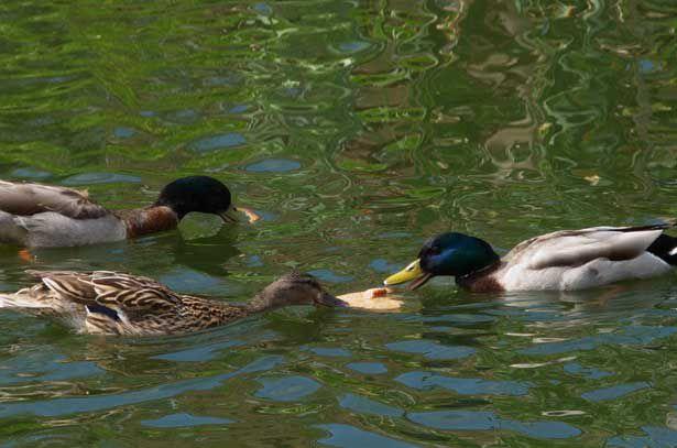 Орнитологи запрещают кормить уток на пруду хлебом