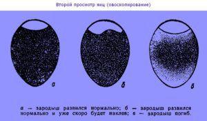 Схематичное изображение норм онтогенеза птенцов