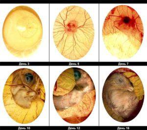 Фото различных состояний зародыша в яйце