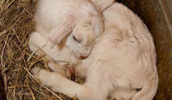 Согрейте замерзшего новорожденного козленка своим теплом