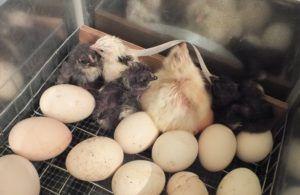 Появление первых птенцов