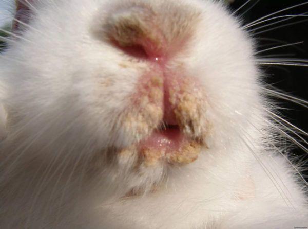 Стоматит у кроликов