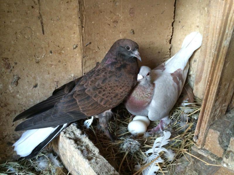 Молодая семья голубей
