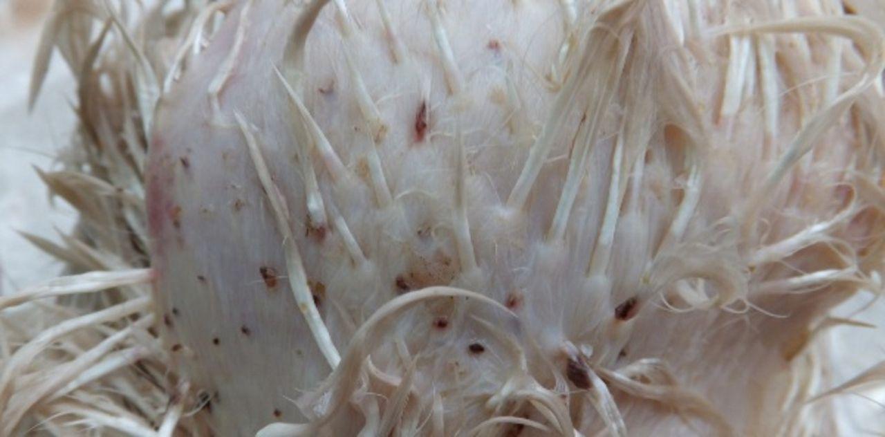 В грязных сараях на перьях птиц появляются паразиты