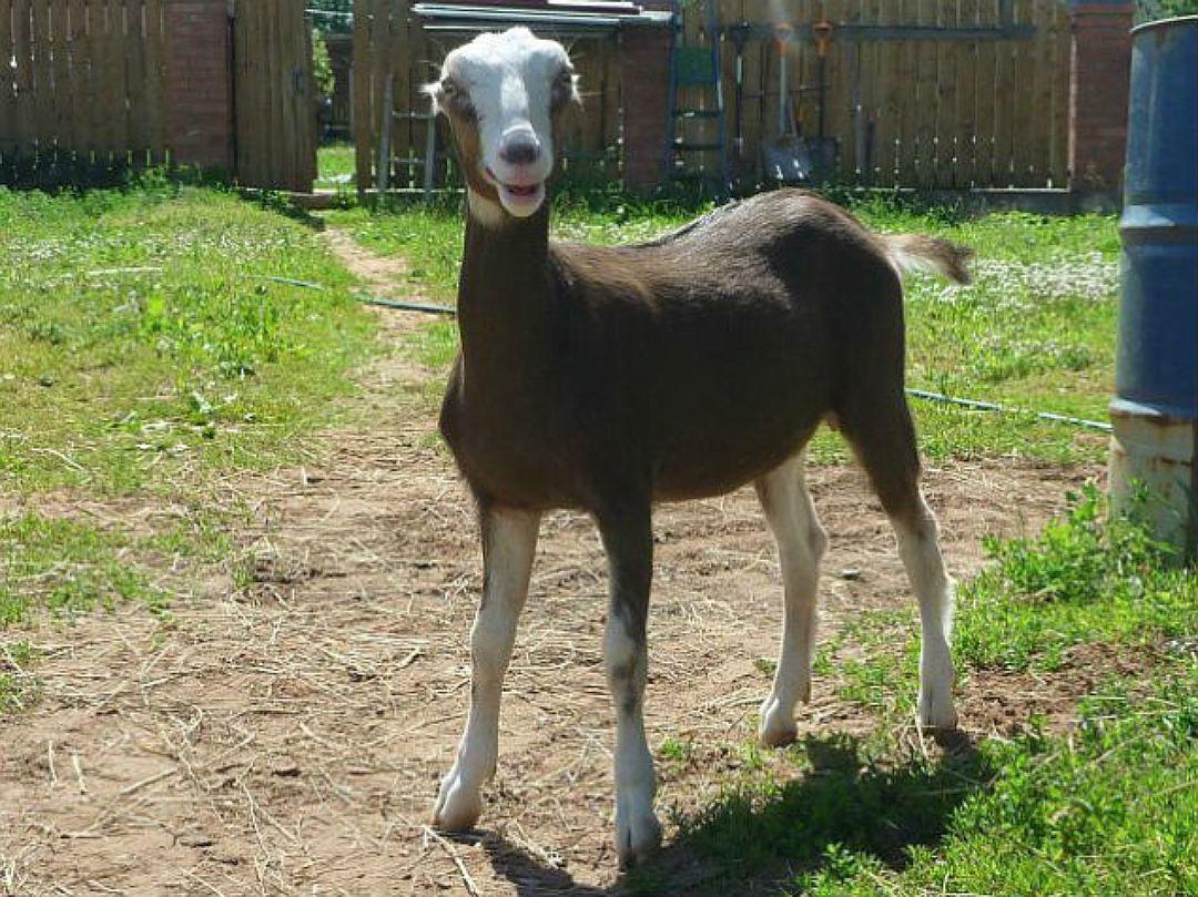 Чистый хлев — залог успеха в разведении коз