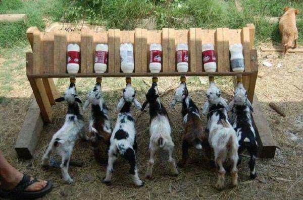 Оригинальное приспособление для бутылочного выкорма козлят