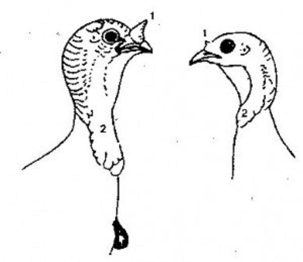 Внешние различия голов самцов и самок индюка