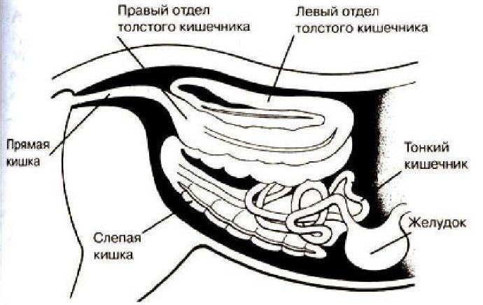 Кишечник и органы пищеварения