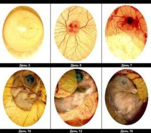 Этапы развития птенцов