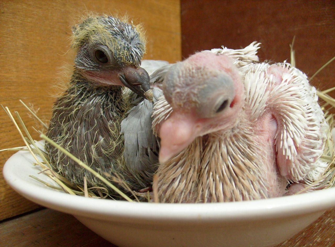 Птенцы голубя с разным уровнем развития