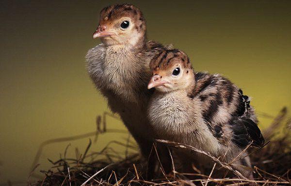Определение пола по длине маховых перьев актуально для суточных птенцов