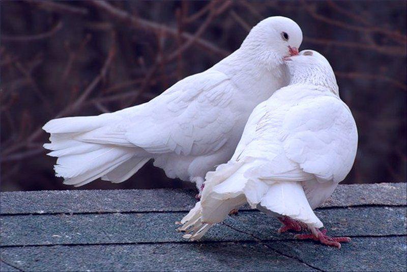 Пара белых павлиньих голубей