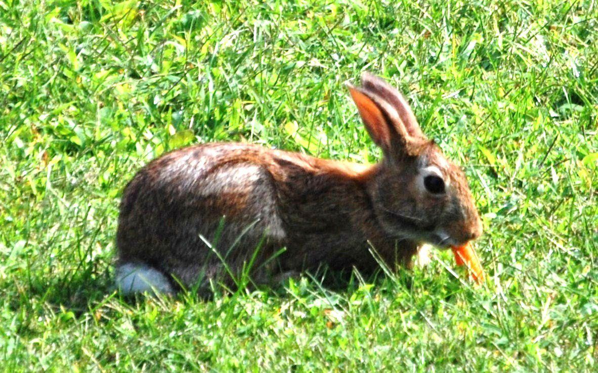 Рацион кроликов разнообразен, но всем известно, как они обожают морковь