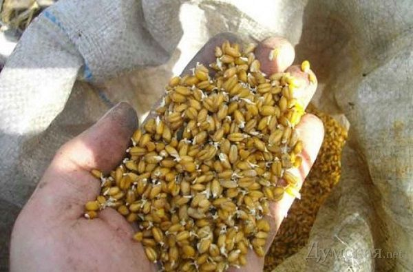 Прорастая, зерна аккумулируют внутри себя полезные вещества