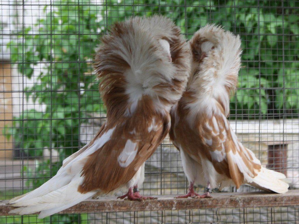 Декоративные голуби породы Якобин