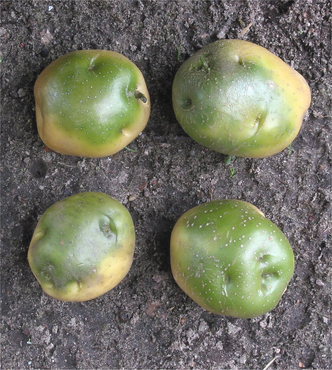 Овощные культуры, относящиеся к семейству пасленовых, вырабатывают растительный яд соланин