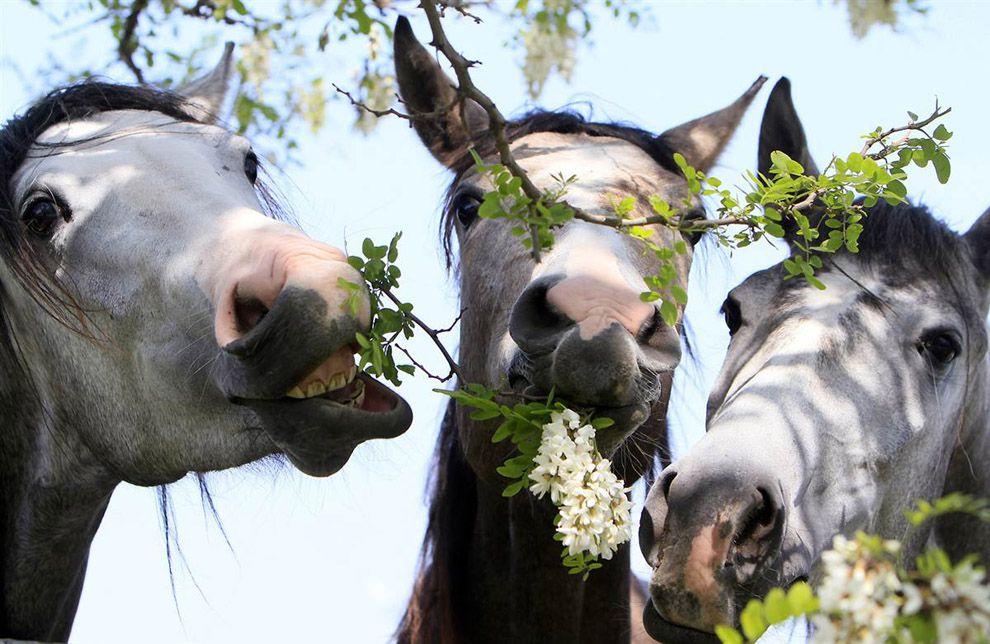 Находясь на домашнем содержании, лошадь все время должна жевать