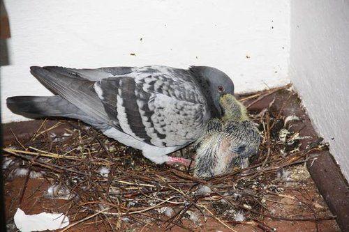 Самка кормит детеныша голубиным молоком