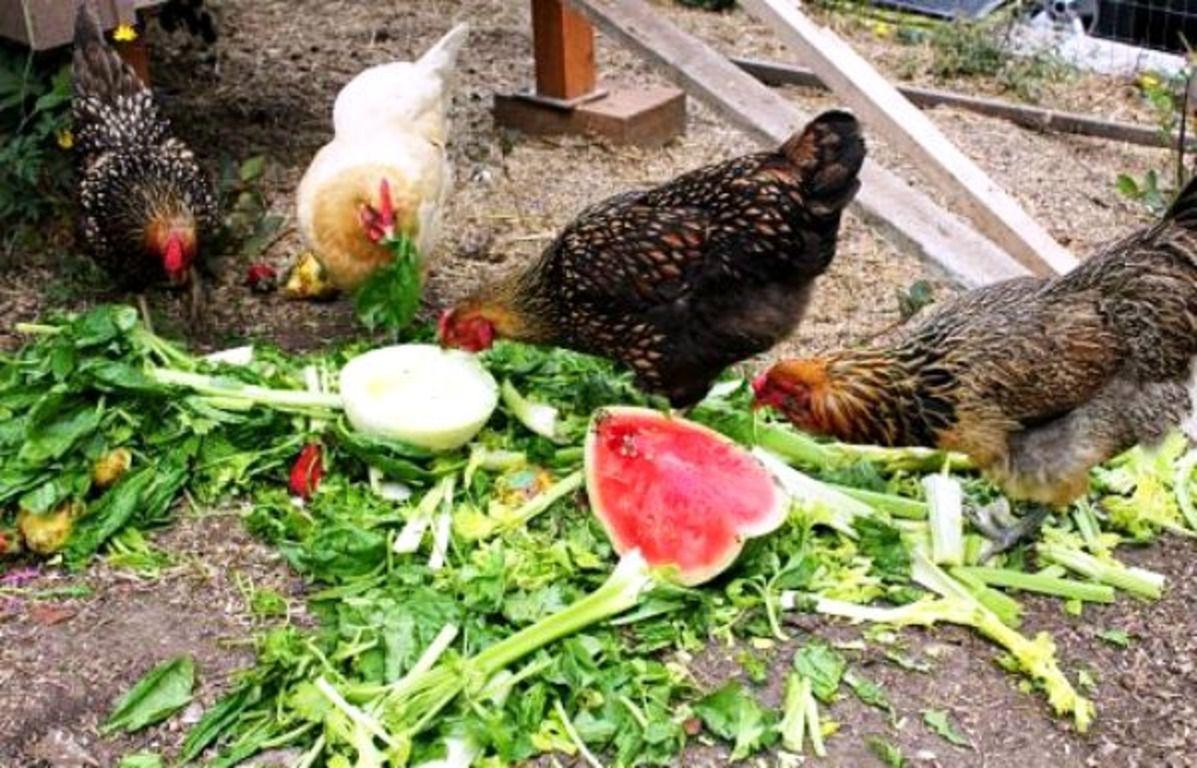 Когда курицы заняты процессом поглощения пищи, у них нет времени на поиск яиц для расклева