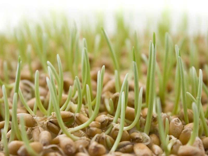 Допустимый срок хранения пророщенного зерна - 1 сутки