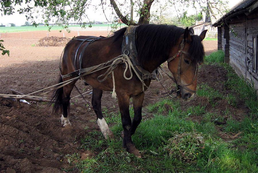 Работающей лошади необходимо давать концентраты в больших количествах