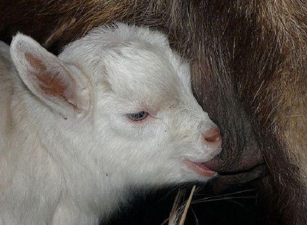 Один раз пососав вымя матери, козленок навсегда запомнит его вкус