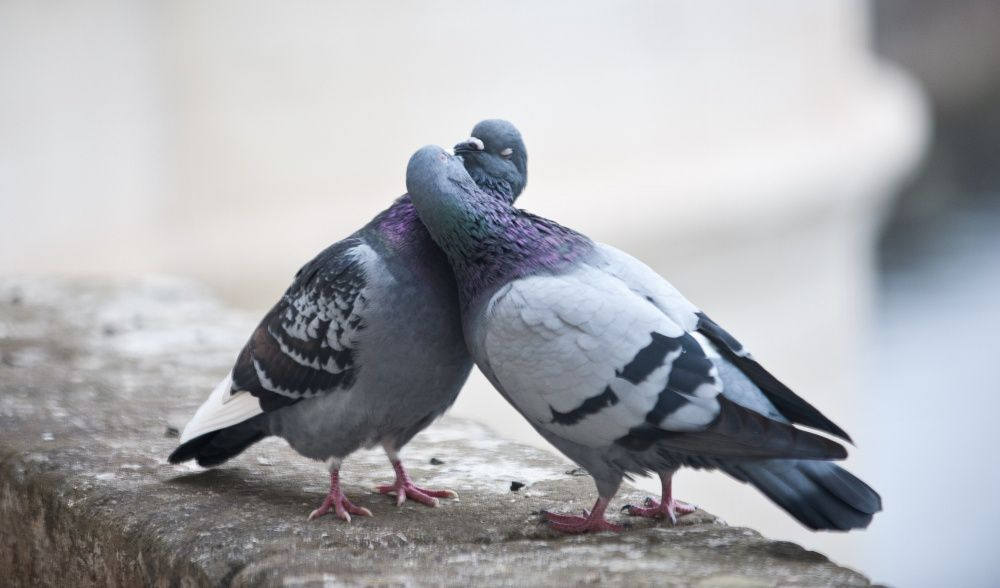 Брачные игры сизых голубей