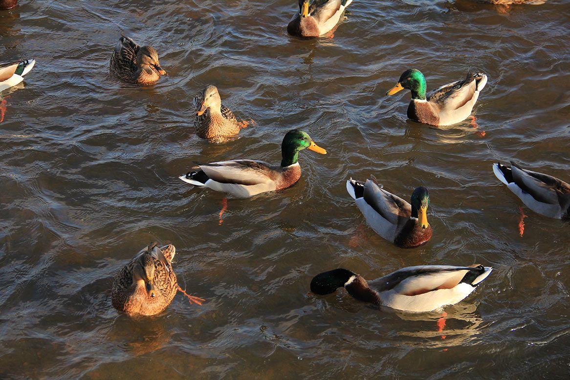 Оптимальный вариант кормления птиц летом – в естественных водоемах, где они сами смогут найти достаточно корма