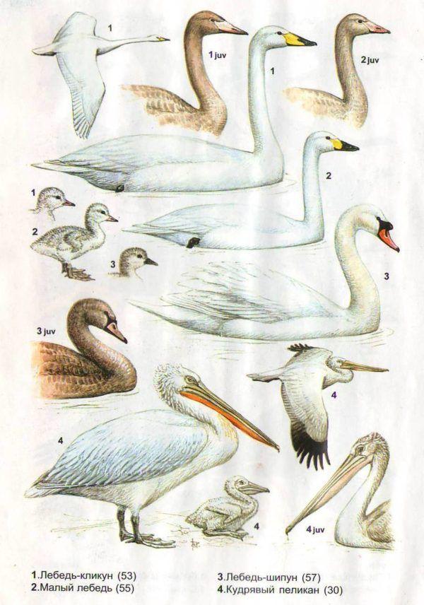 Взрослые и молодые лебеди различных видов (в сравнении с кликуном)