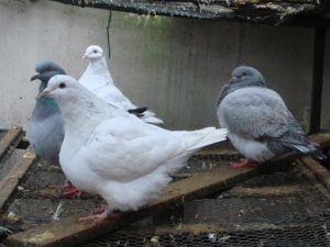 Мясные голуби породы тексан в вольере