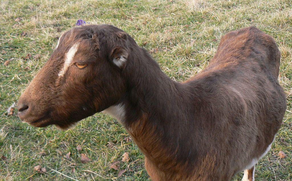 Необычная форма и размер ушей выделяют коз Ламанча из 200 основных пород