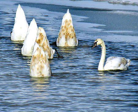 Лебеди ныряют за пищей