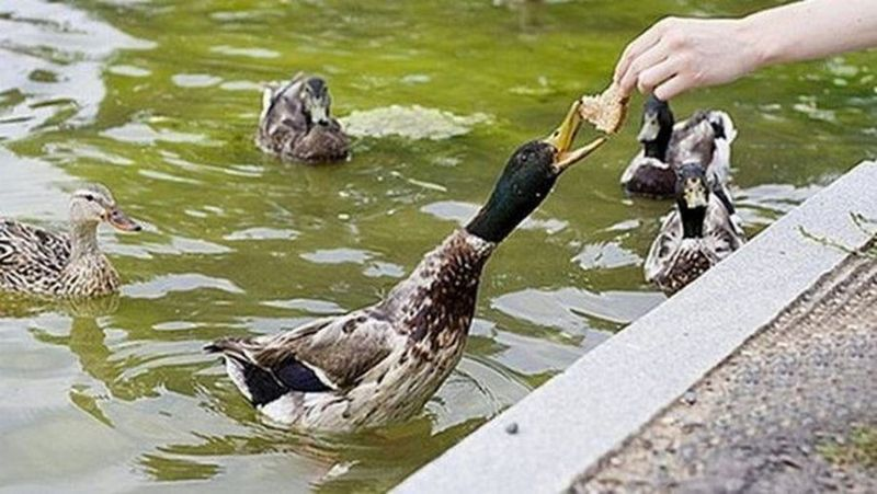 Кормить уток хлебом запрещено