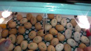 Яйца инкубаторе