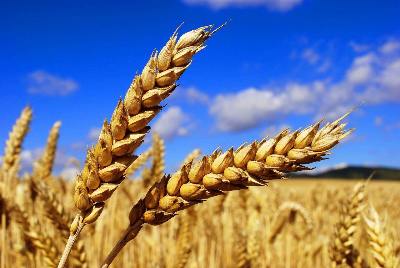 Высокая питательная ценность зерна сделала его популярным продуктом в рационе пушистых питомцев