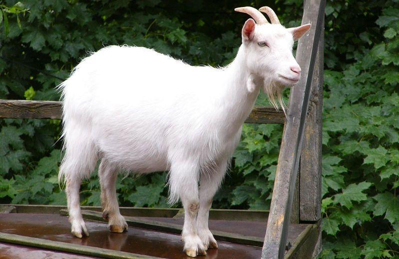 Здоровый внешний вид козы