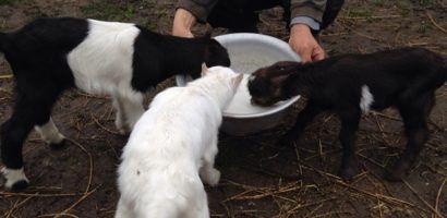 Козлята охотнее пьют молоко в группе