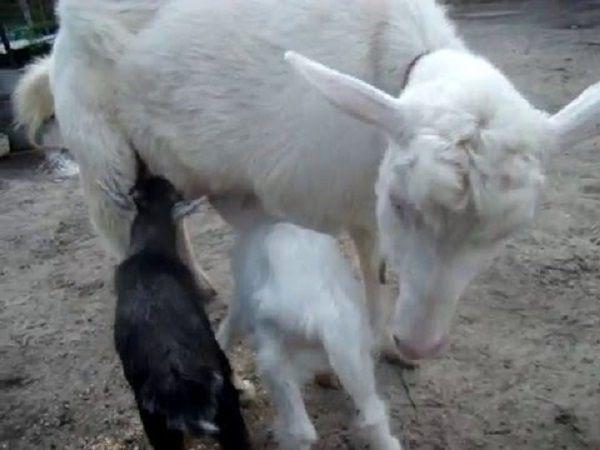 В некоторых случаях самостоятельное выкармливание козлят матерью выгодно хозяину