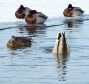 Дикие утки сами ищут корм в пруду