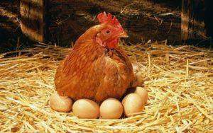 Курица справится с утиными яичками в пределах 8-10 штук