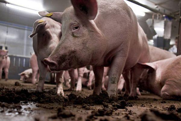 Свинки в охоте не годятся для забоя