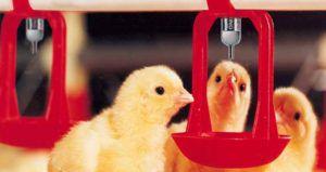 Поилка для цыплят