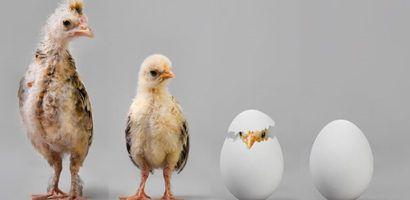 Инкубация бройлерных яиц в домашних условиях
