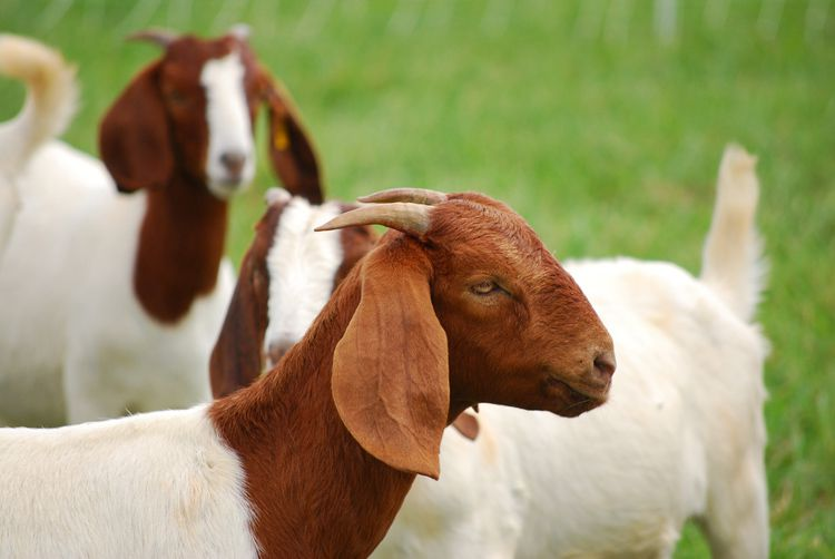 Бурская мясная коза
