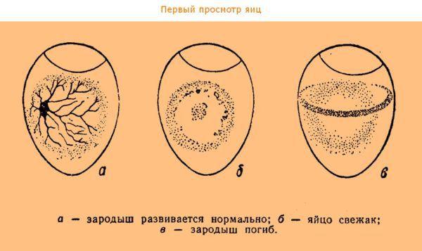 Первый просмотр яиц из кладки курицы