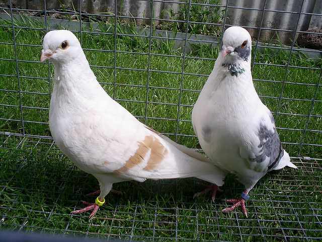 Пара голубей для искусственного спаривания