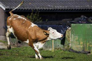 Необычное поведение коровы в гоне