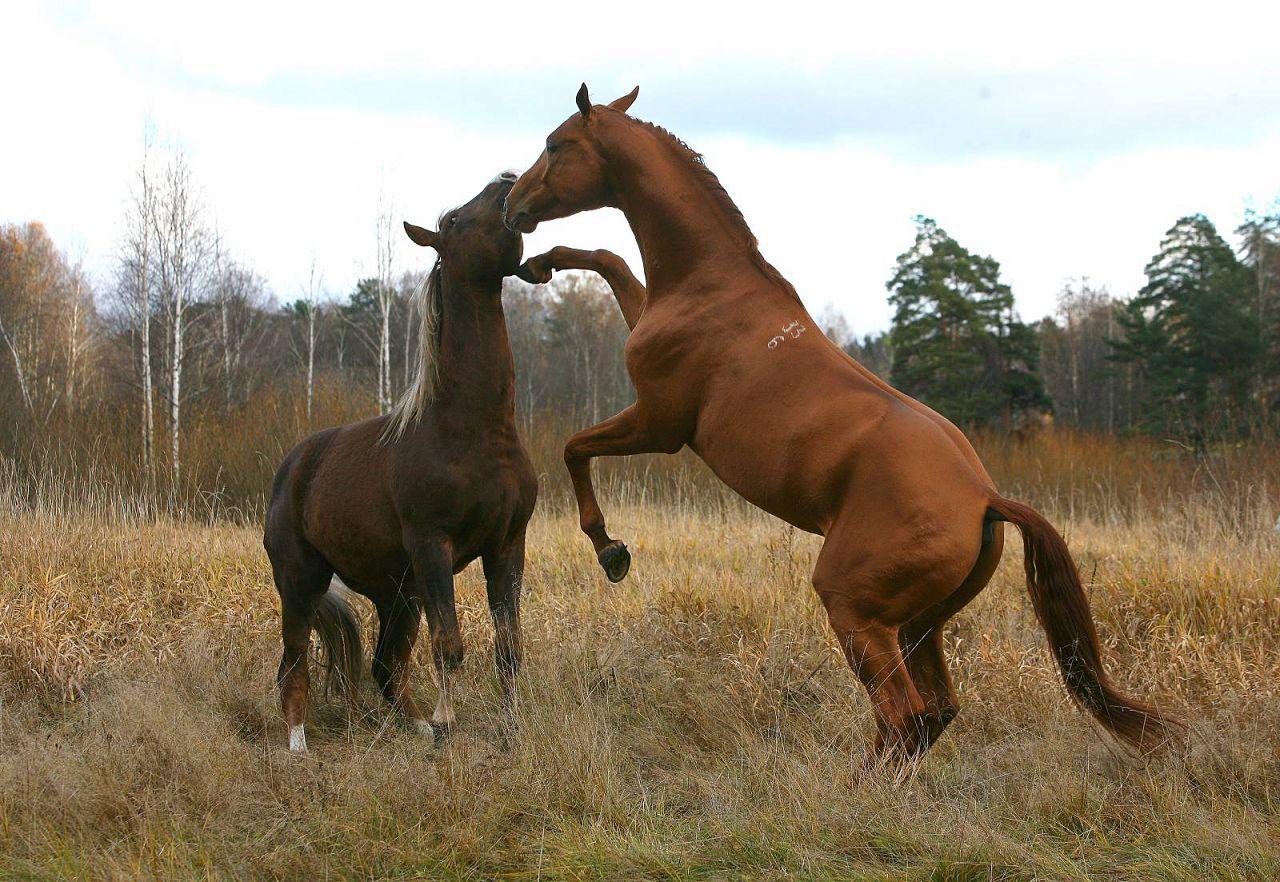 Перед совокуплением кобыла и конь играют вместе, оказывают друг другу знаки внимания