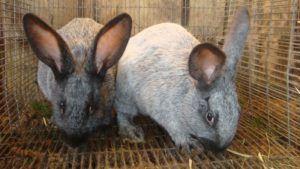 Кролики очень чистоплотны, что повышает качество мяса